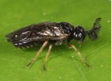 Monoctenus sp.