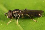 Neoascia tenur