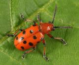 Twelve-spotted Asparagus Beetle - Crioceris duodecimpunctata