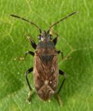 Peritrechus fraternus