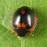 Exochomus marginipennis