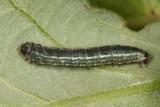 7436 - Winter Moth  - Operophtera brumata