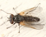 Symphoromyia sp.