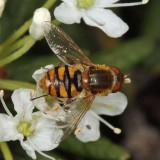 Parhelophilus obsoletus