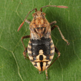 Arhyssus lateralis (wings broken off)