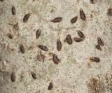 Oystershell Scales - Lepidosaphes ulmi