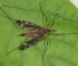 Sooty Crane Fly - Tipula fuliginosa