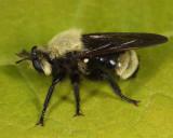 Laphria posticata