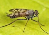 Rhagio punctipennis