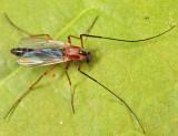 Midges - subfamily Chironominae
