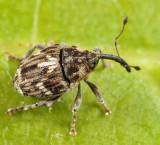 Weevils - Subfamily Ceutorhynchinae