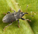 Clover Seed Weevil - Tychius picirostris