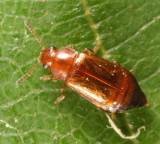 Eusphalerum orientale