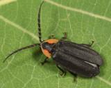 Black Firefly - Lucidota atra