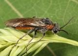 Dolerus tibialis conjugatus
