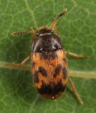 Mycetophagus flexuosus