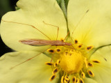 Stilt Bugs - Berytidae