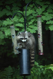 Raccoon - Procyon lotor (raiding the bird feeders)