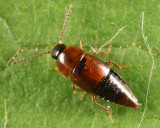 Tachinus corticinus (male)