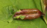 Dasineura tumidosae