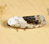 9095 - Small Bird Dropping Moth - Ponometia erastrioides