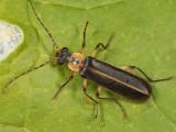 Podabrus basillaris