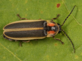 Photinus consanguineus