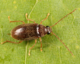 Toe-winged Beetles - Ptilodactylidae