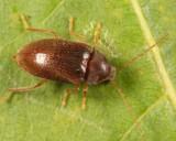 Ptilodactyla carinata (female)
