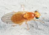 Flies - Chyromyidae