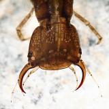 Dytiscus sp.