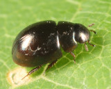 Paracymus confluens