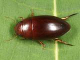 Matus bicarinatus