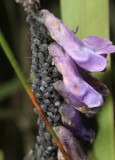 Aphis sp. (on hairy vetch)