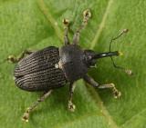 Odontocorynus umbellae