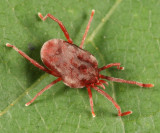Leptus sp.