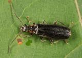 Rhagonycha (undescribed sp.)