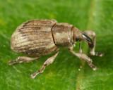 Pickerelweed Weevil - Onychylis nigrirostris