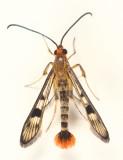 2554 - Maple Callus Borer - Synanthedon acerni
