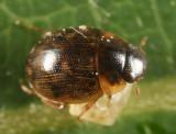 Laccobius minutoides
