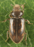 Variegated Mud-loving Beetles - Heteroceridae