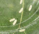 Dineutus assimilis (eggs)