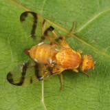 Rose Hip Fly - Rhagoletis basiola