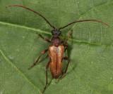 Lepturopsis biforis
