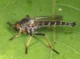 Neoitamus flavofemoratus