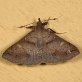 8386 - Speckled Renia - Renis adspergillus