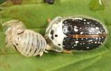 Sunflower Tortoise Beetle - Physonota helianthi