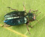 Chrysobothris harrisi
