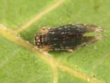 Stimulopalpus japonicus