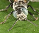 Tachysphex terminatus group